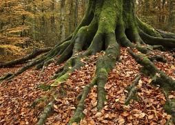 Racines d'un HÍtre commun sous les feuilles mortes Pays Bas - @ Bergherbos (Parc Naturel de)Localisation: prËs de la ville de 's-Heerenberg. -  -